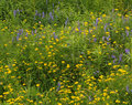 Wildflowers jaunes et bleus Photo libre de droits