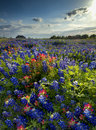 Wildflowers in late afternoon sun bluebonnets and indian paintbrushes a rural texas neighborhood Royalty Free Stock Images