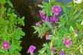 Wildflowers - Lewis Monkey Flo...