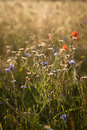 Wildflowers on the meadow Royalty Free Stock Photo