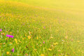 Wildflowers on a meadow in a sunny day Royalty Free Stock Photo