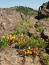 Wildflowers among rocks in mountains Royalty Free Stock Images