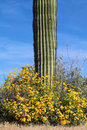 Wildflowers and saguaro a wildflower bloom in the arizona desert in spring surround a sagurao cactus Royalty Free Stock Photos