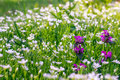 Wildflowers with short focus Royalty Free Stock Photo