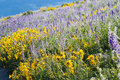 Wildflowers yellow and blue in full bloom in the mountains Royalty Free Stock Images