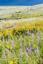 Wildflowers yellow and blue in full bloom in the mountains Stock Photo