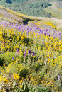 Wildflowers yellow and blue in full bloom in the mountains Stock Image