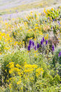 Wildflowers yellow and blue in full bloom in the mountains Stock Photos