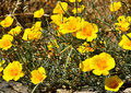 Wildflowers yellow that grow at the roadside Stock Images