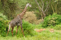 Wildlife in africa giraffe safari Royalty Free Stock Photos