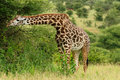 Wildlife in africa giraffe safari Royalty Free Stock Image