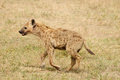Wildlife in africa hyaena on the safari Royalty Free Stock Images