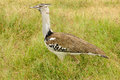 Wildlife in africa kori bustard on the safari Stock Photo
