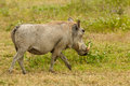 Wildlife in africa pig on the safari Royalty Free Stock Photography