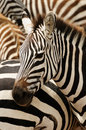 Wildlife in africa zebras safari Stock Photos