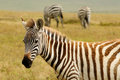 Wildlife in africa zebras safari Royalty Free Stock Photos