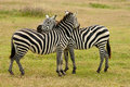 Wildlife in africa zebras safari Stock Photography