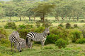 Wildlife in africa zebras safari Royalty Free Stock Photo