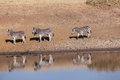 Wildlife Animals four Zebra's Waterhole Royalty Free Stock Photo