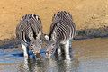Wildlife animals two zebra s waterhole drinking at in reserve habitat Royalty Free Stock Photos