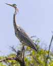 Wildlife birds a bird grey heron ardea cinerea in the national park in the gambia africa Stock Photo