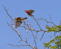 Wildlife birds a pair of red billed firefinch lagonosticta senegala in the national park in the gambia africa Royalty Free Stock Images