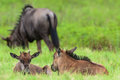 Wildlife Blue Wildebeest Calfs Stock Image