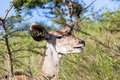 Wildlife buck animal wilderness kudu in reserve habitat alert for predator dangers Stock Photography
