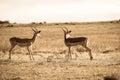 Wildlife Buck Animals Sepia To...