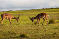 Wildlife buck fight challenge impala male animals in in wilderness reserve late afternoon light Stock Image