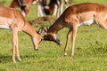 Wildlife buck fight challenge impala males each other stand off in wilderness reserve habitat alert for predator dangers late Stock Image