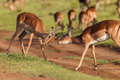 Wildlife buck fight challenge impala males each other stand off in wilderness reserve habitat alert for predator dangers late Royalty Free Stock Photo