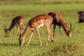 Wildlife buck herd animal impala eating grass in wilderness reserve habitat alert for predator dangers late afternoon light Stock Image