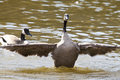 Wildlife of canada Royalty Free Stock Photo