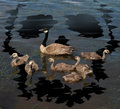 Wildlife danger and animal conservation concept as a young family of canada geese on a lake polluted from a toxic oil spill shaped Stock Photography
