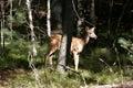 Wildlife deer bambi landscape Royalty Free Stock Photos