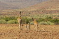 Wildlife giraffe s portrait of a group of four girraffe in a desert landscape at palmwag namibia Stock Images