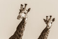Wildlife Giraffes Animal Plate...