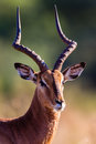 Wildlife Impala Buck Head Portrait Stock Images