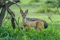 Wildlife - Jackal Royalty Free Stock Photo