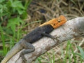 Wildlife in the jungle animal world lizard on vacation a little rest and recuperation african tropics c te d ivoire Stock Image