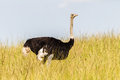Wildlife ostrich bird grass on long green in wilderness reserve habitat alert for predator dangers Stock Image
