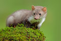 Wildlife scene, France. Stone marten, Martes foina, with clear green background. Beech marten, detail portrait of forest animal. S Royalty Free Stock Photo