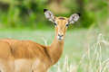 Wildlife springbok portrait of a in tarangire national park tanzania Royalty Free Stock Photo