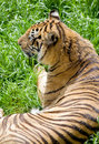 Wildlife tiger Royalty Free Stock Photo
