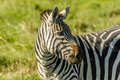 Wildlife zebra african close up of a at ngorongoro conservation area tanzania Stock Photos