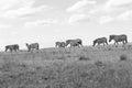 Wildlife Zebra Animals Grassla...
