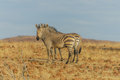 Wildlife zebra s portrait of a two in a desert landscape against a blue sky at palmwag namibia Royalty Free Stock Photo