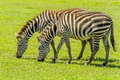 Wildlife zebras african two grazing at ngorongoro conservation area tanzania Stock Image