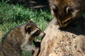 Will you share please? raccoons Royalty Free Stock Photo
